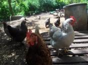 Curious Hens