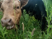Mooing cows.