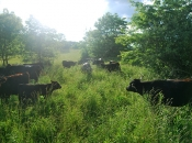 Pampered cattle
