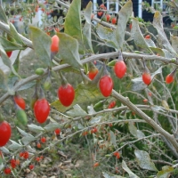 lycium_barbarum_fruit_goji_tree_da_ma_ye_organic