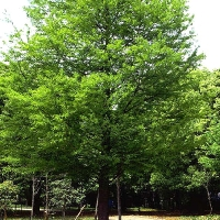 Bald-cypress (taxodium distichum)