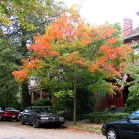 fall-sweetgum