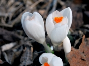 Springflwrs2.jpg