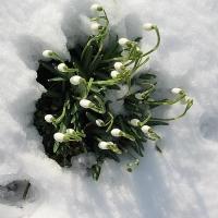 snowdropstop