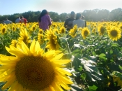 Whitehall Sunflower Field