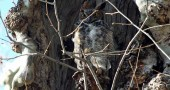A great horned own perched in the cavity of a sycamore along the river in the south Glen about two weeks ago, waiting like the mice it hunts for spring to warm all creatures out of their hovels. (photo by Patricia Perry)