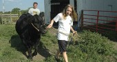 Preparation for the annual Greene County Fair brings out the worker in Yellow Springs youth, who spend months to years on their living and non-living-projects. Above, Rachel Hammond and her dad Scott practiced leading Winnie, her year-old heifer who eats 25 pounds of grain a day and weighs in at 900 pounds. Below, Austin Pence nuzzled his heifer Mabel on his family's 130-acre farm on Xenia Avenue just south of the Village water towers. The fair starts Sunday, Aug. 1. (photos by Lauren Heaton)