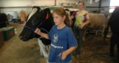 Kaliyah Fulton led her holstein steer Frankie to a filtered watering hole at the Greene County Fair on Thursday in preparation for the big sale the following day. (photo by Lauren Heaton)
