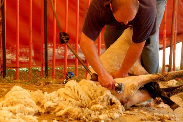 Don Haudenschield demonstrates the proper way to shear a lamb (photo by Aaron Zaremsky)