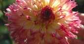 A laciniated nenekazi dahlia blossomed in Dinah Anderson's garden on Orton Road. (photos by Lauren Heaton)