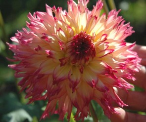Why they're dahlias, dahlink, dahlias
