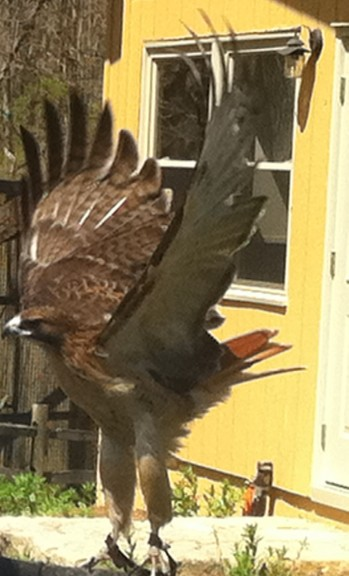 Birch, another red-tailed hawk, was one of the birds not eligible for release.