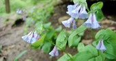 Virginia Bluebells (Mertensia Virginica) poke their heads out in the Glen (photo by Aaron Zaremsky)