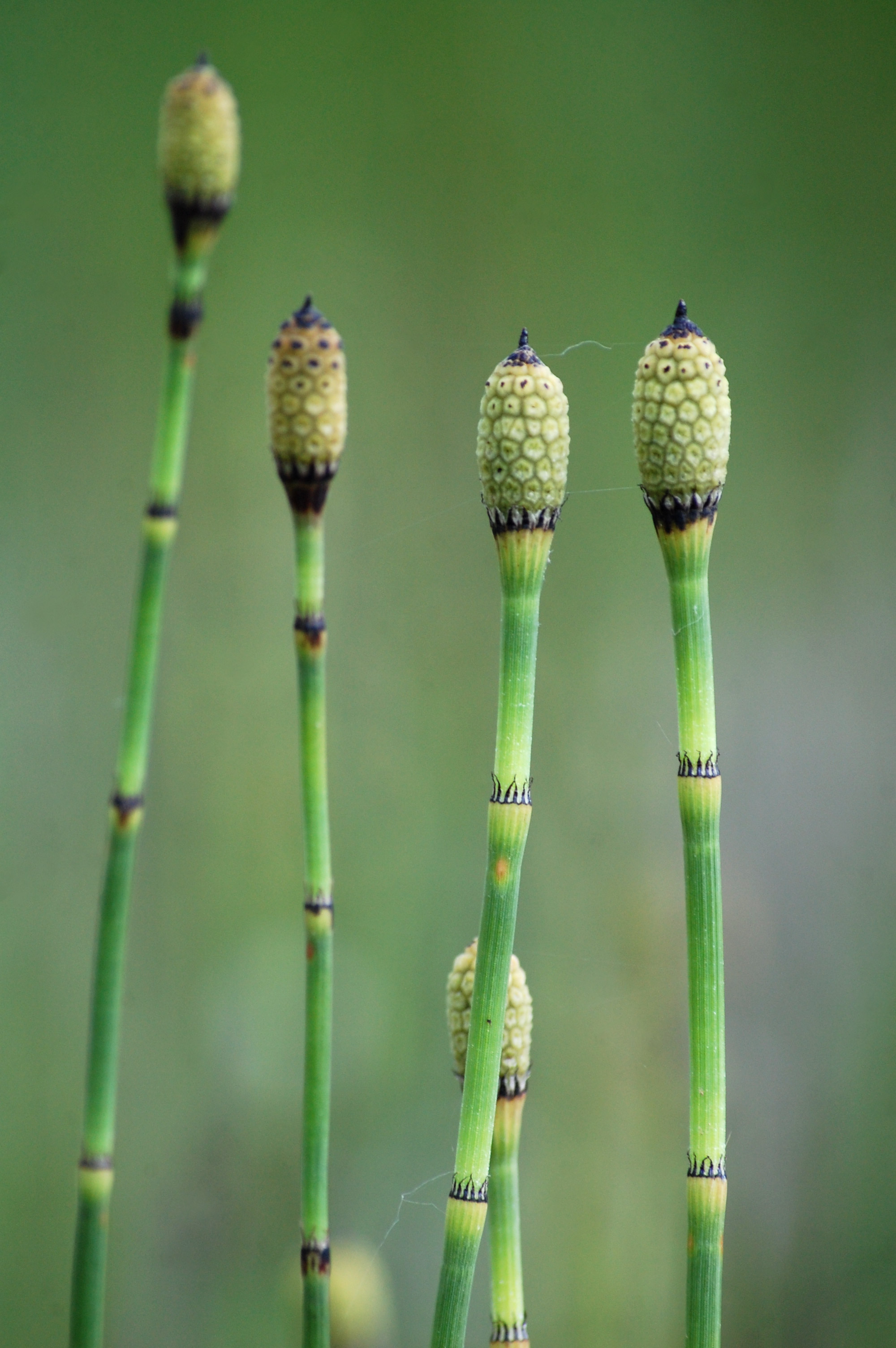 Weekly Wildlife: Horsetails!