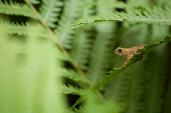 A small toad makes some backyard ferns seem gigantic (photo by Aaron Zaremsky)