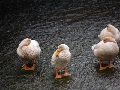 Weekly Wildlife: Ducks!