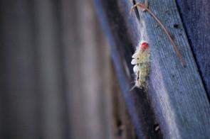 Weekly Wildlife: Caterpillars