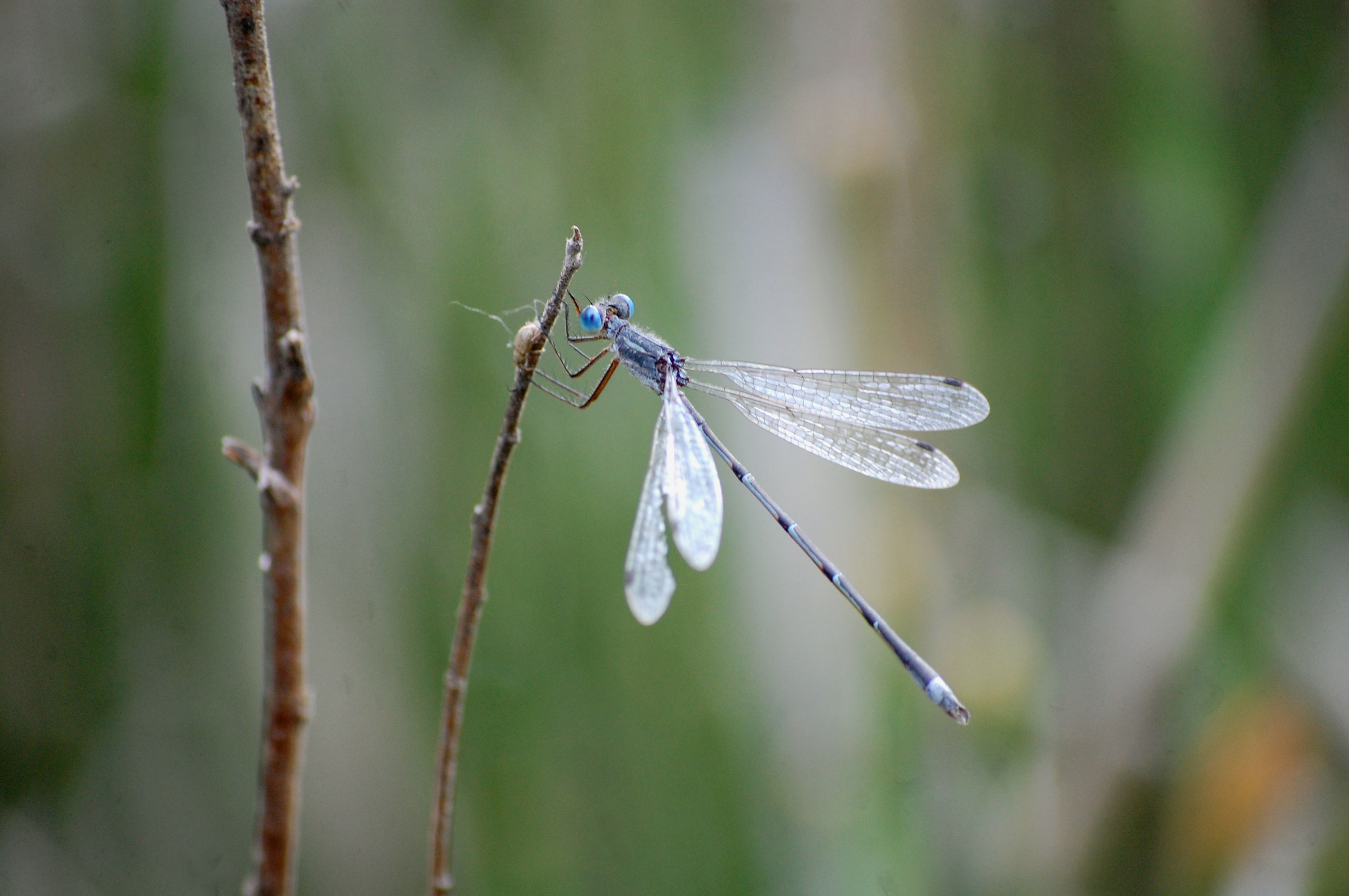 Weekly Wildlife: Damselfly