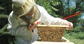 Brian Johnson checked in on one of his hives on a recent warm afternoon, when the bees would be happy enough to let him take a peek. Lifting up a comb on a top-bar hive on Yellow Springs-Fairfield Pike, Johnson said the honey is forming well and will soon be ready to harvest. Johnson is one of a growing group of local beekeepers. (Photo by Megan Bachman)