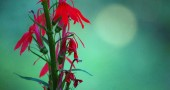 A Cardinal Flower (lobelia cardinalis) is a strikingly beautiful plant (photo by Aaron Zaremsky)
