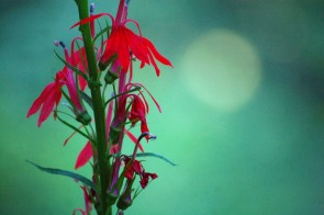 Weekly Wildlife: Cardinal Flower