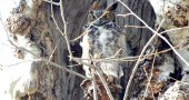 Last year a great horned owl nested in a dead tree in the Glen.