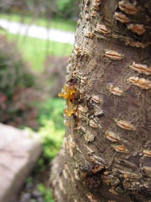 treeSap