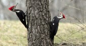 "The pileated woodpecker is one of the 85 bird species tallied last Saturday at the annual ""Make It Count for the Birds"" fundraiser for Glen Helen. The event raised about $10,000 for the nature preserve."