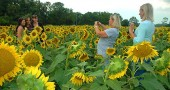 The sunflowers in the field just north of Yellow Springs are a big draw this time of year. Shown above are several women from Columbus who last year took time to photograph the flowers just after attending a yoga workshop in town.