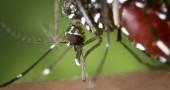 800px-Aedes_albopictus_2