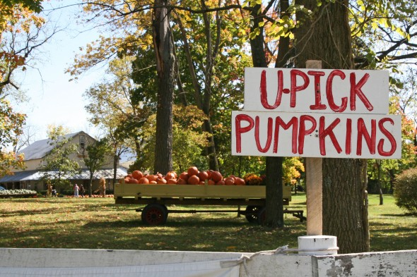 It was a perfect Saturday to pick your own pumpkin at Peifer! (photos by Suzanne Ehalt)
