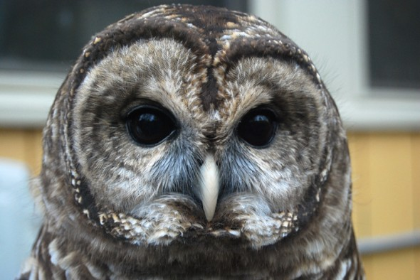 Grinnell, the Barred Owl at the Raptor Center (photo by Aaron Zaremsky)