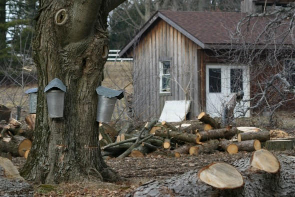 A tapped sugar maple tree at the Flying Mouse Farm with the Sugar Shack in the background. (photos by Suzanne Szempruch)