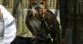 A great horned owl stares down the camera.