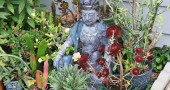 Buddha sitting among a great succulent garden at a dear friend's home on West South College St. (photos by Suzanne Szempruch)