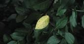 The first leaf to turn. (Photos by Matt Minde)