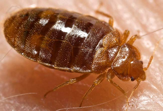 A photograph of a mature bedbug. The adult is approximately the size of an apple seed. (Photo from the Centers for Disease Control)