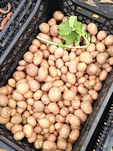 potato bin