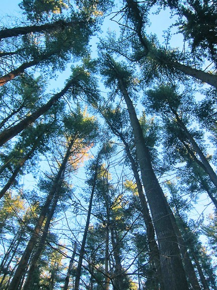 The Canopy of the Pine Forest