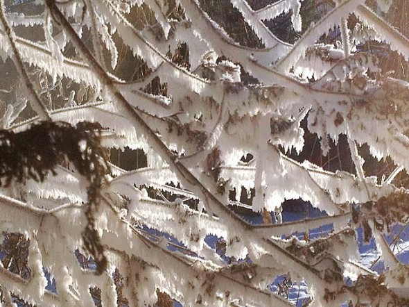 The moist exhaust from a home furnace accretes as frost to bare twigs on a bush in Wednesday morning's extreme cold. (Photo by Matt Minde)