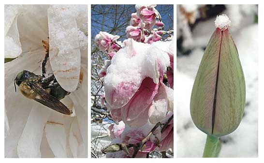 At top left, an unfortunate bee was caught unawares during a routine pollination; at center, a flowering magnolia tree bears the additional weight of snow caps, while, at right, the tip of a still-closed tulip is graced with a tuft of snow.