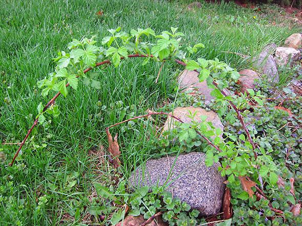 arching berry bush