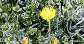 Dandelion In The Frost