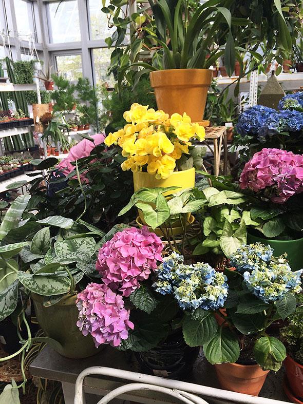 many hues of Hydrangea