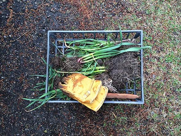 transplanting garlic