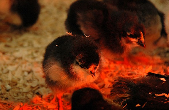 Antioch-baby-chicks