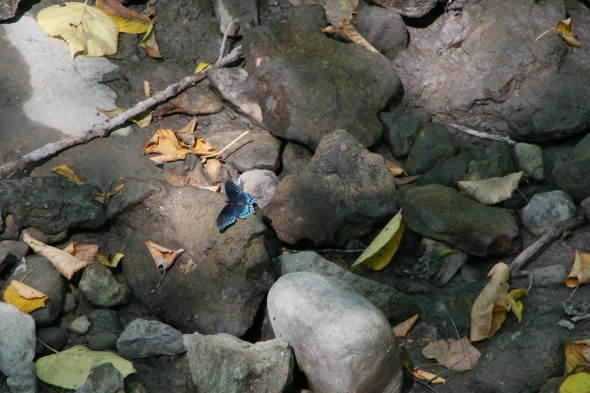 A beautiful blue butterfly landed on some rocks last fall. (photo by Suzanne Szempruch)