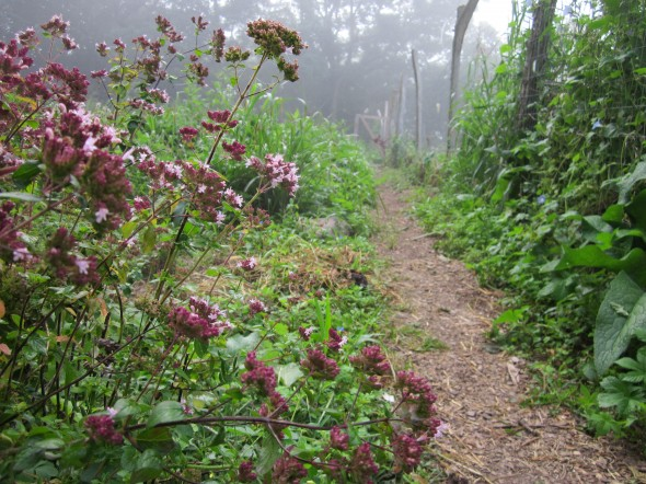 The Antioch College food forest, located on the Antioch Farm, includes locust, plum and pawpaw trees,  hazelnut bushes, jostaberries, wild chives and more, including this oregano. Take a tour on July 17. (Photo from antiochcollege.org)