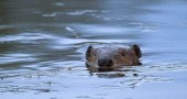 One of the beavers that have built a dam in a stormwater management area in the Glass Farm. (Submitted photo by Scott Stolsenberg)