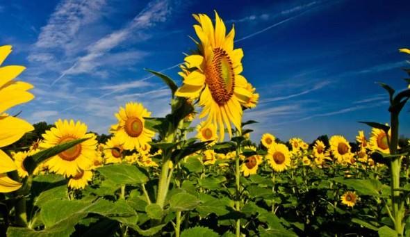 Photos by Gary Kunze, top, and Tessa Kalman were the winners of the 2014 Sunflower Photo contest.